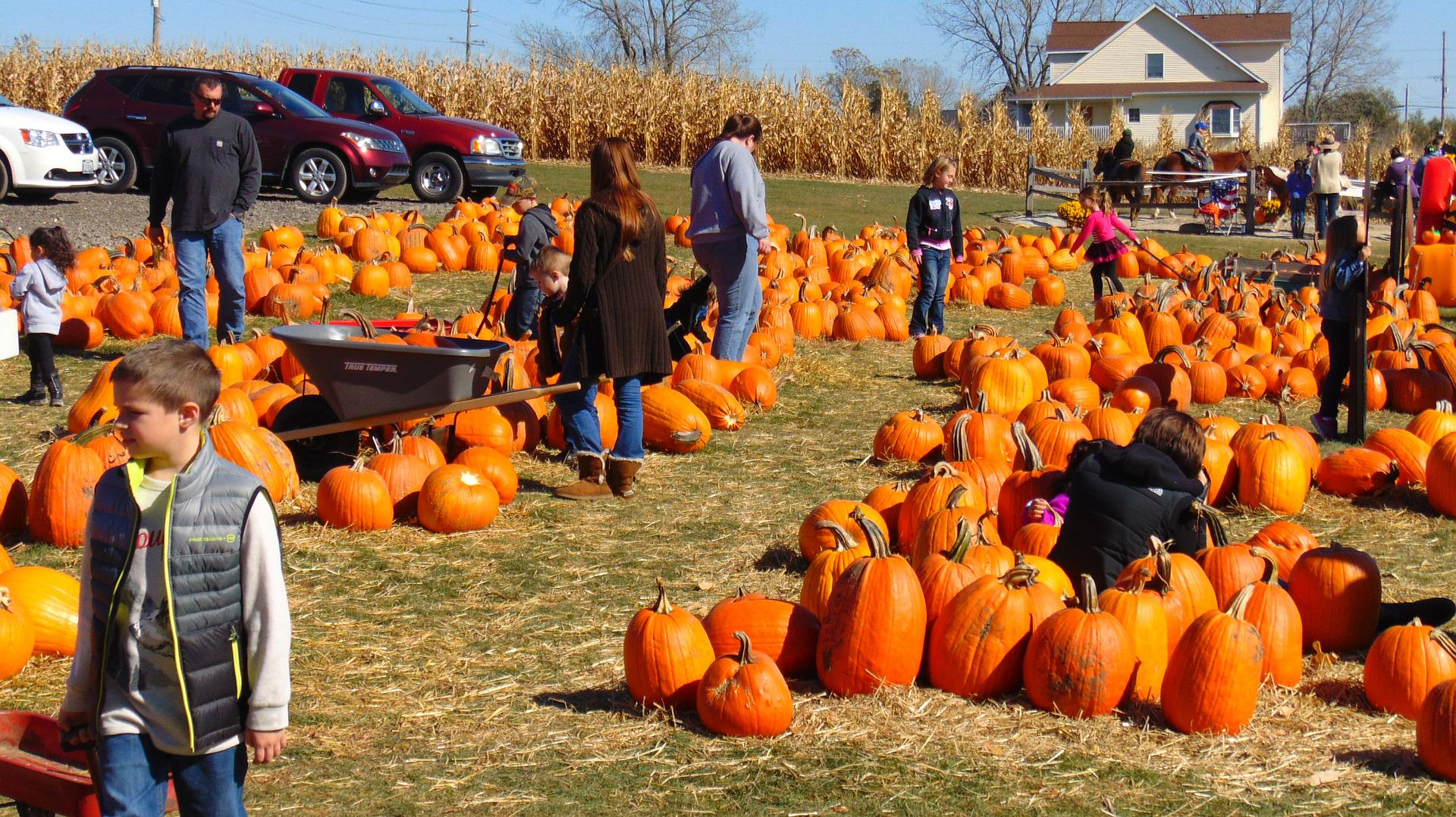 An image of a pumpkin field with people picking pumpkins.
